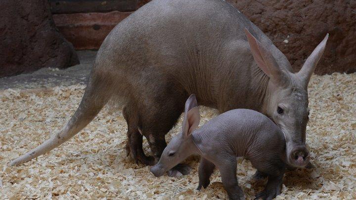 Африканского трубкозуба впервые покажут в Московском зоопарке