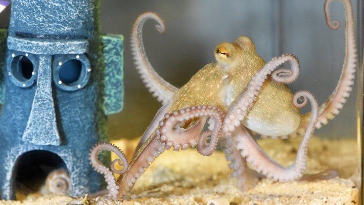 Сбежавший в Приморье осьминог Хэнк скоро умрет