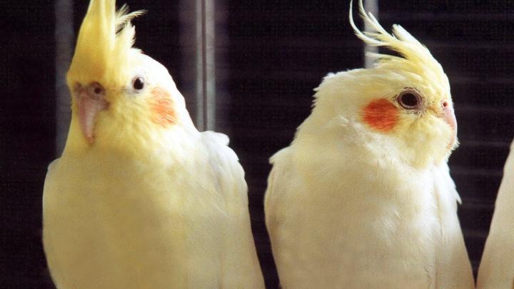 Житель Ленобласти заживо сжёг пару попугаев из-за неразделенной любви