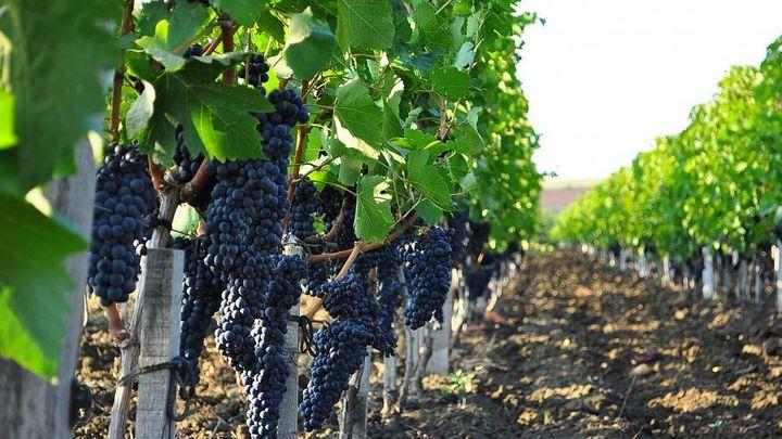 На Кубани аграрии собрали более 193 тысяч тонн винограда