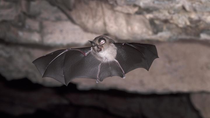 Обнаруженный у летучих мышей вирус насторожил учёных