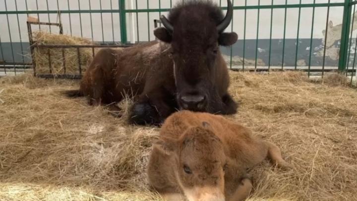 В Екатеринбургском цирке родился бизон