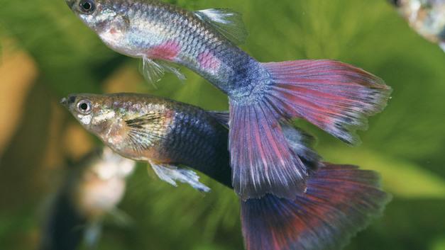 Британские ученые доказали: Аквариумные рыбки гуппи «строят глазки», когда рассержены