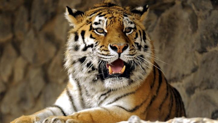 Русские мужики: Водитель голыми руками запихивал в машину сбегающего тигра