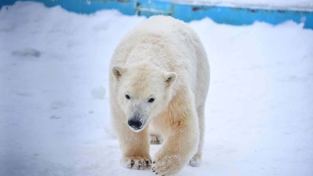 Новый Винни-Пух: ВНорвегии объевшийся шоколада медведь застрял вокне