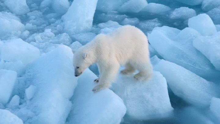 Инстинкт самосохранения: Белым медведям из-за таяния ледников приходится гонять гусей