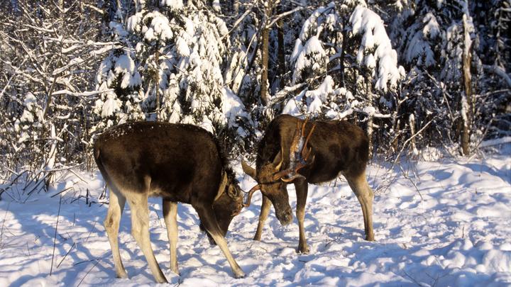 Лоси подставили зампрокурора: В Тверской области госчиновника подозревают в браконьерстве