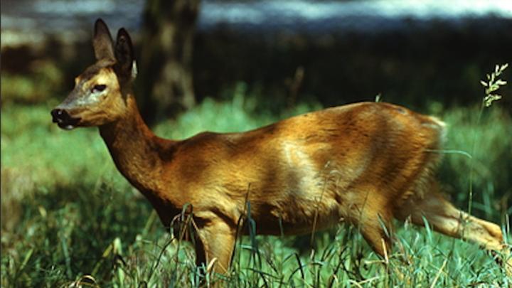 В Курганской области два браконьера застрелили 33 косули и пытались замести следы