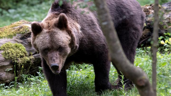 В Красноярске дикий медведь загнал на дерево спортсмена-скалолаза
