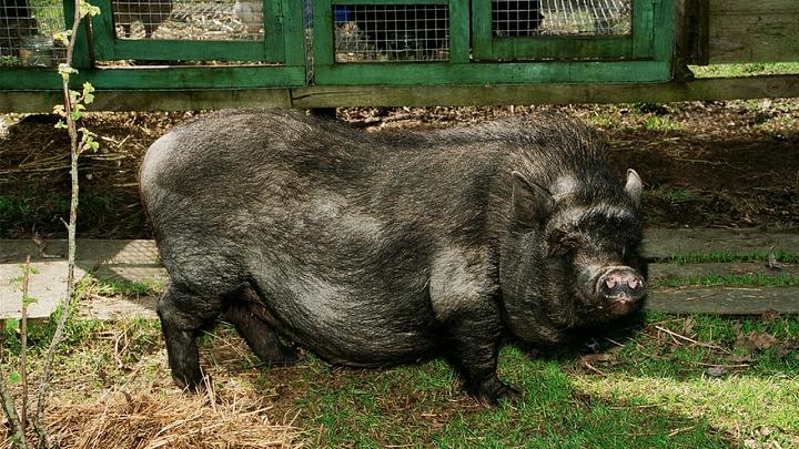 Сначала COVID, теперь африканская чума свиней: В городах Самарской области объявлен режим ЧС