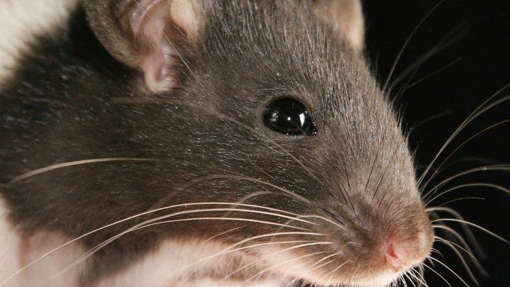 В Германии около 10 пожарных привлекли к спасению застрявшей в люке крысы - видео