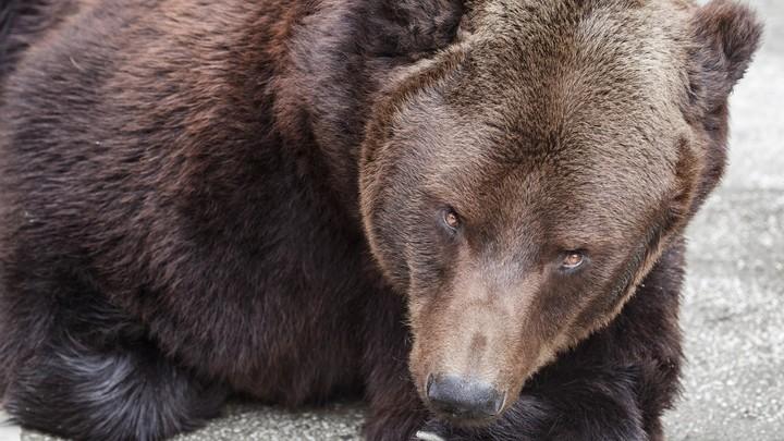 Обливайся: в челябинском зоопарке бурый медведь полюбил душ