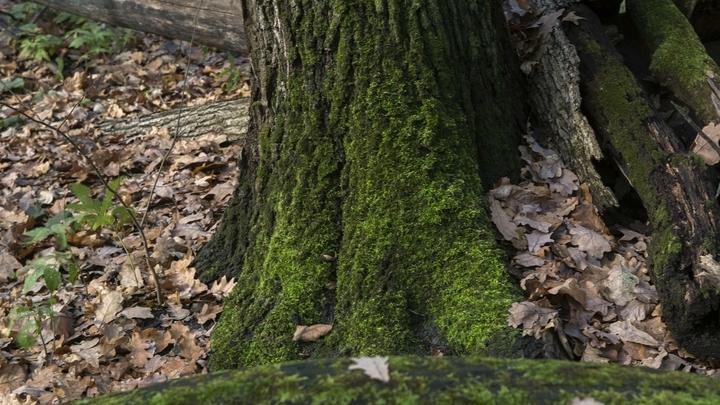 В лесах Новосибирской области появился гриб с кровавыми слезами