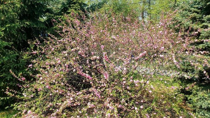 Челябинцы выстроились в очередь к цветущей сакуре