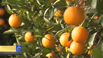 Абхазские фермеры собрали рекордный урожай мандаринов к Новому году