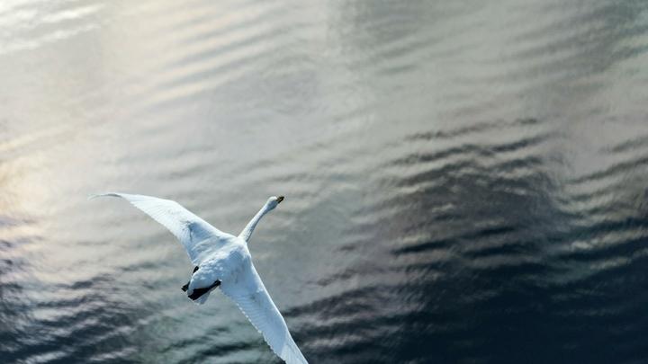 Одинокий лебедь тоскует по семье и не хочет лететь на юг: Сначала погибли все птенцы