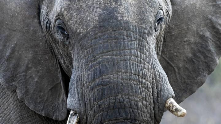 Уникальный розовый слоненок обнаружен в ЮАР – видео