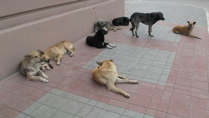 Стая бездомных собак набросилась на мужчину в Кемерове