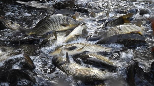 Цербер сработал: Из Ростовской области за границу пытались незаконно вывезти свыше 700 кг рыбы