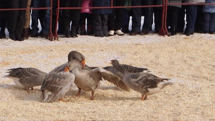Зоозащитники и федеральный закон «убили» гусиные бои в Суздале