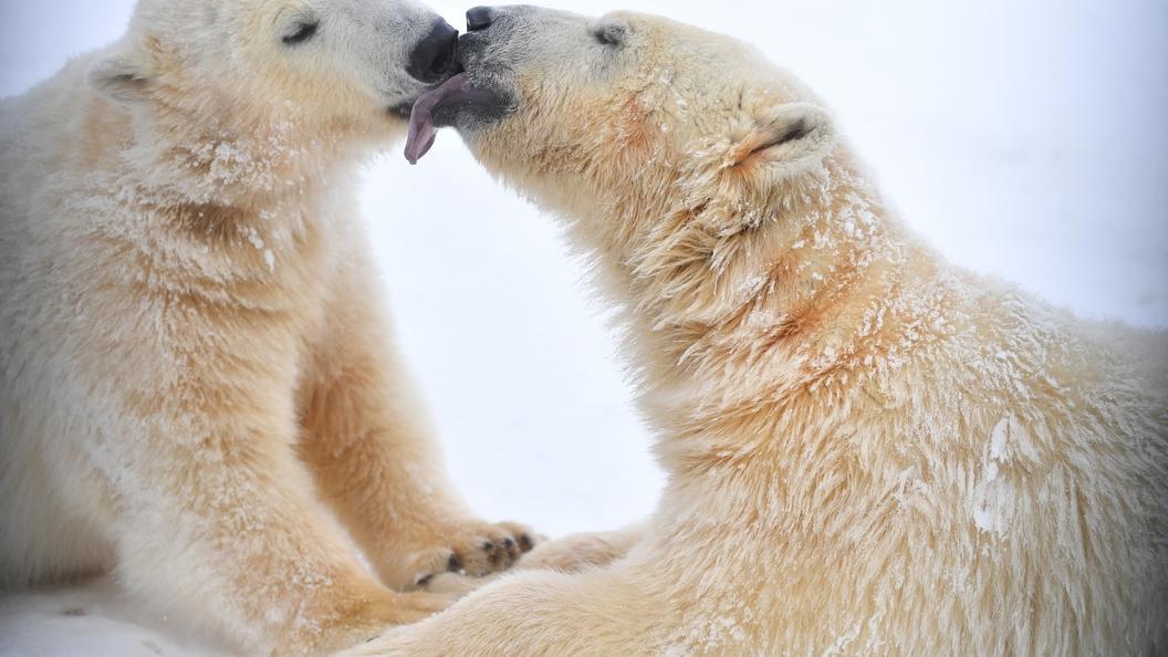 На Ямале расстреляли шесть белых медведей