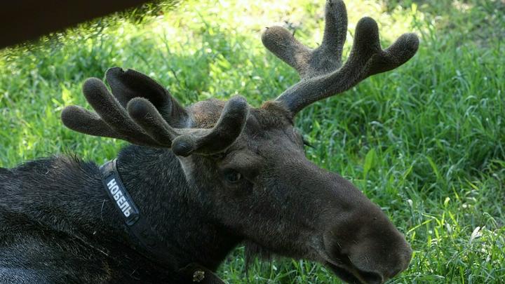 Зоологи предупредили жителей Петербурга о нашествии лосей