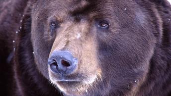 За продуктами: Бурый медведь забрел на рынок на Камчатке