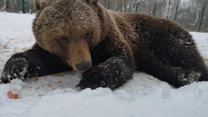 Медведя обманули строители: Любимца тверского аэропорта оставили без каши и кухни