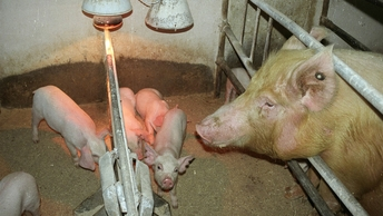 Африканская чума свиней обнаружена в черте Омска