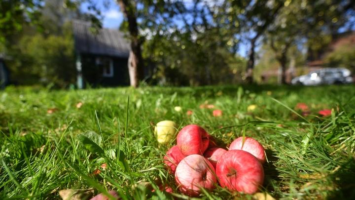 Опирайтесь на вкусовые предпочтения: Какие яблоки купить на Яблочный спас и как их выбрать