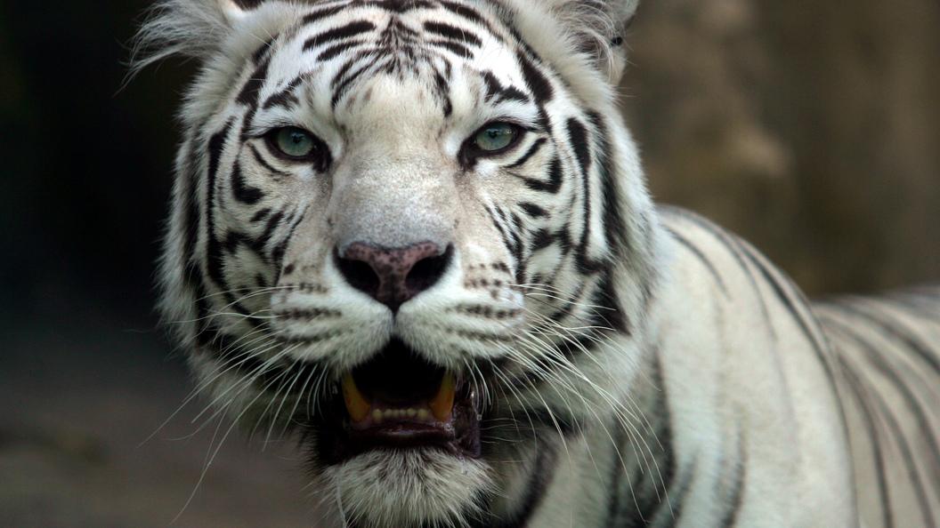 Три белых тигренка иносорог родились взоопарке воФранции