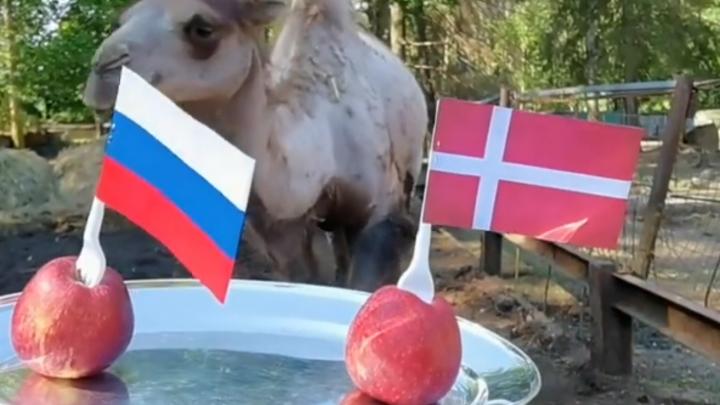 Саламыч уверен в победе: верблюд-оракул предсказал исход матча Россия — Дания