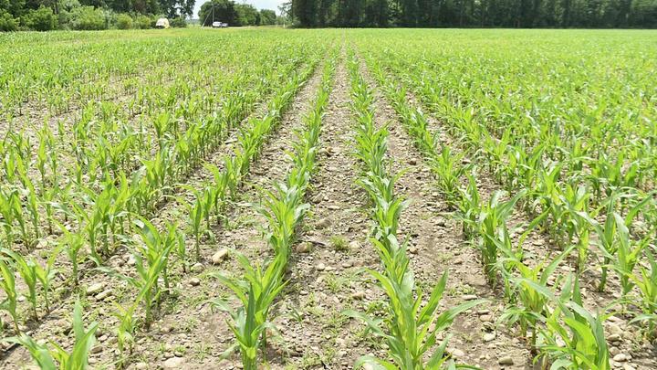 В Павловском районе град с дождем повредил более 5,3 тысяч га посевов