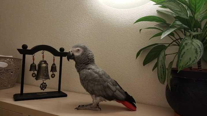 В Челябинске пропал редкий попугай