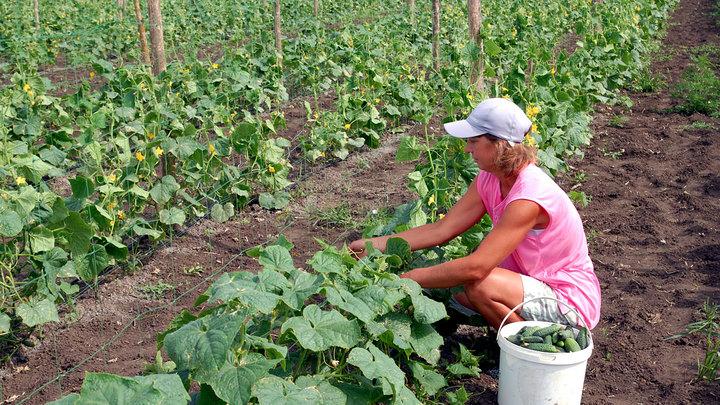 Налог, которого не было: Чем обернутся патенты для фермеров