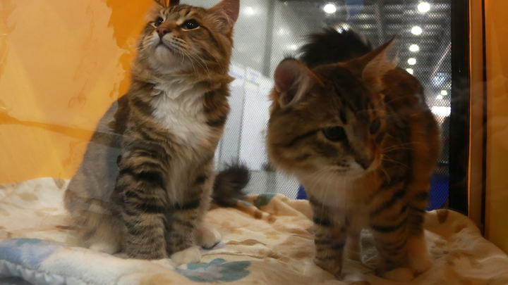 Новосибирцы взяли с выставки домой девять бездомных котов и кошек