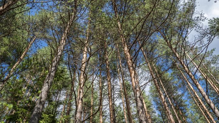Власти прокомментировали вырубку леса около посёлка Элитный под Новосибирском