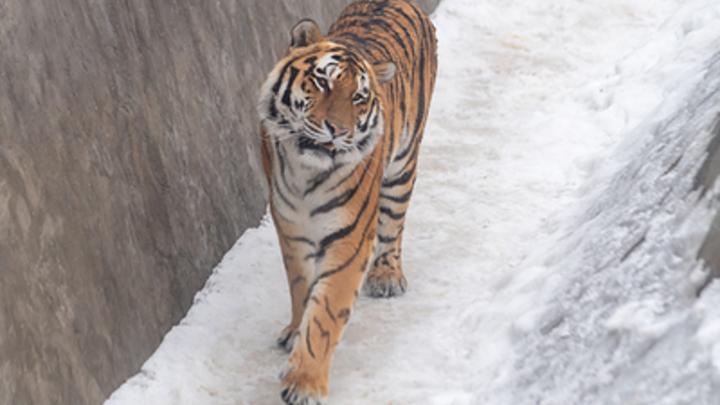 В нижегородском зоопарке родились тигрята