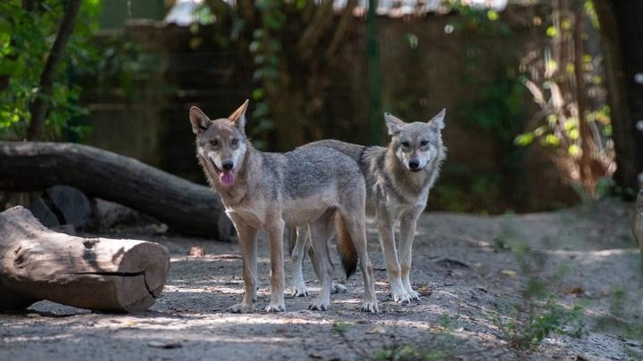 Волчата из зоопарка Ростова оказались волчицами