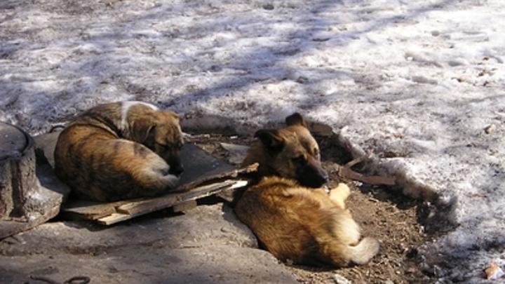 Следователи начали проверку из-за нападения бродячих собак на школьника в Чите