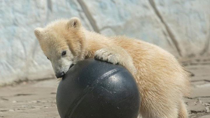 В ростовском зоопарке выяснили пол пятимесячного белого медвежонка: Имя теперь выбрано