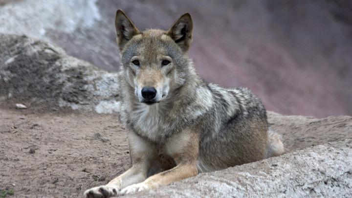 Волки оказались грамотные: В Пермском крае хищники перехитрили охотников