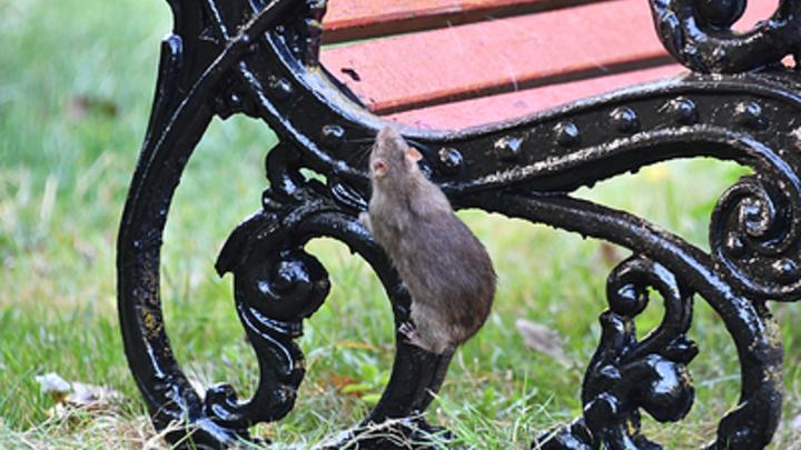 В Кургане крысы поселились возле детского сада и размножаются
