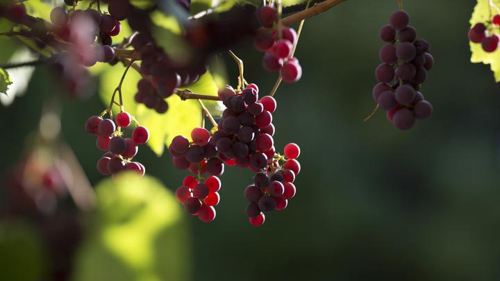 Тон горелой спички: как спасти вино с неправильным диоксидом серы, рассказали в Роскачестве