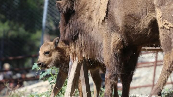 В Геленджике родились два детеныша зубра