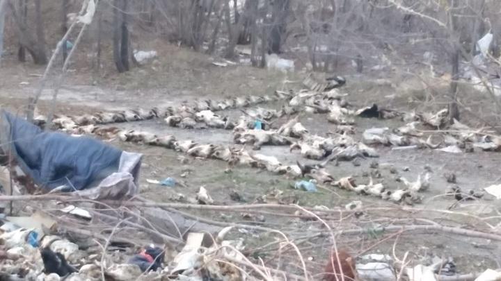 В Тольятти нашли кладбище домашних животных сатанистского толка