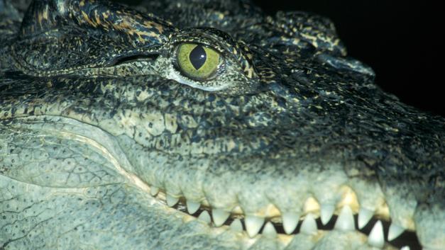 Резня в Индонезии: Обезумевшая толпа убила 300 крокодилов и их детенышей