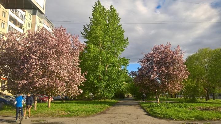 Хищники: в Челябинске по ночам стали вырубать здоровые деревья