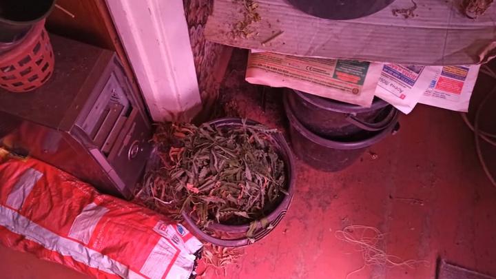 Трое нижегородцев подпольно выращивали марихуану в пяти съемных квартирах