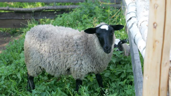 Пентаграммы на мордах, уже 3 трупа: Загадочные убийства овец напугали британских фермеров
